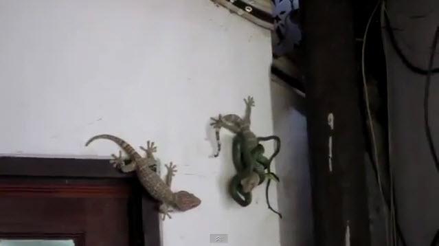 Gecko salva a su amigo de una serpiente y de una muerte segura (video)
