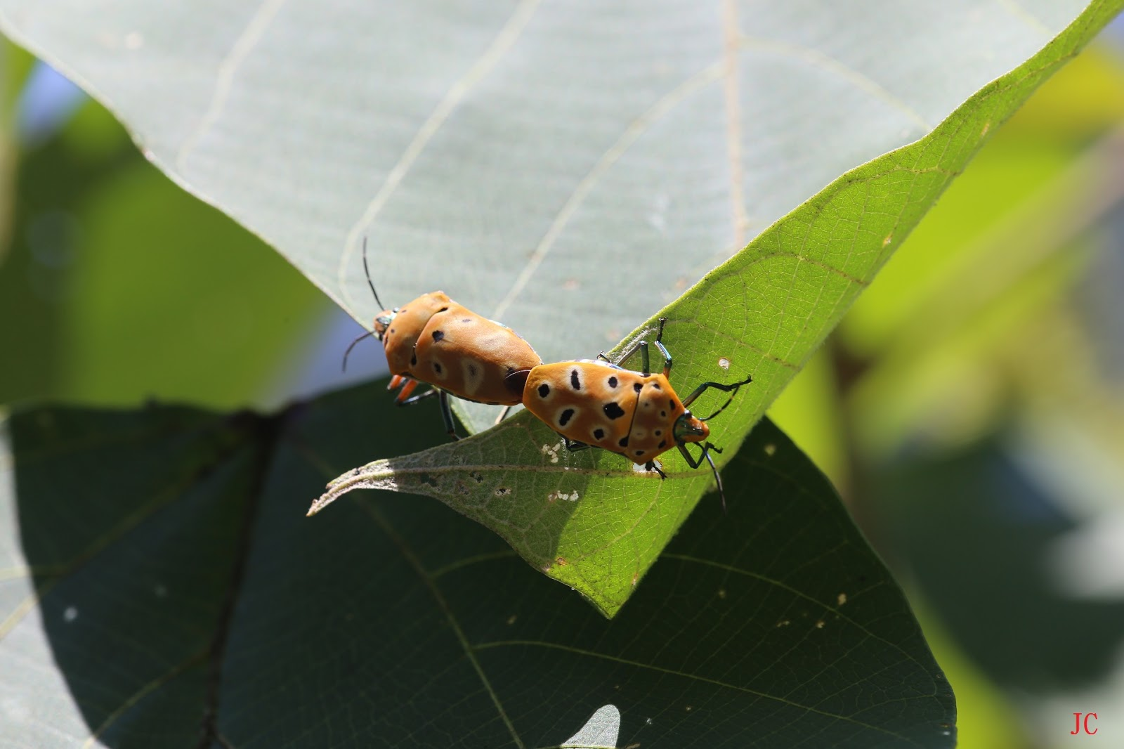 台灣野外昆蟲: 黃盾背椿象 台灣野外昆蟲   黃盾背椿象