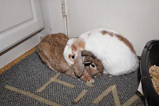 Rabbit House Pet