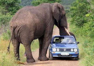 Ketika Gajah Menyerang Kendaraan dan Manusia