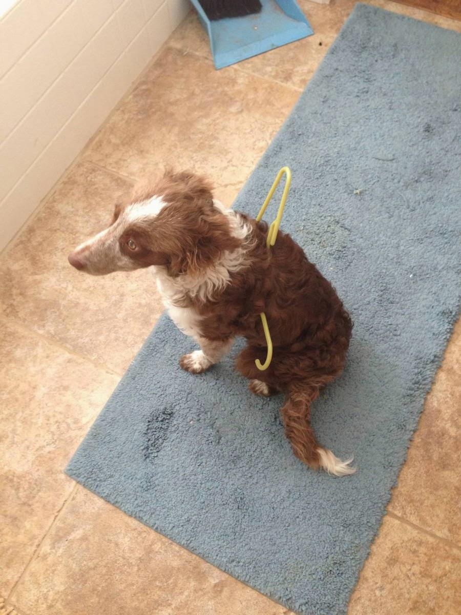 Cute dogs - part 11 (50 pics), dog stuck himself on a hanger
