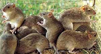 Imágenes de ratas enjauladas