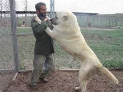 Giantdogs+%252817%2529  Σκυλιά… γίγαντες (photos)