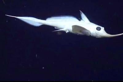 Παράξενο ψάρι από τα βάθη των ωκεανών