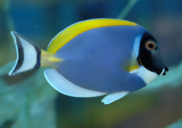 Animal unique powder blue tang for Creative fish names