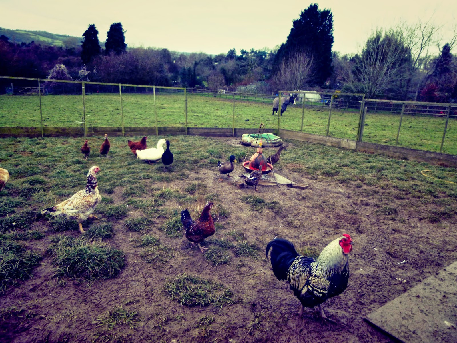 english poultry