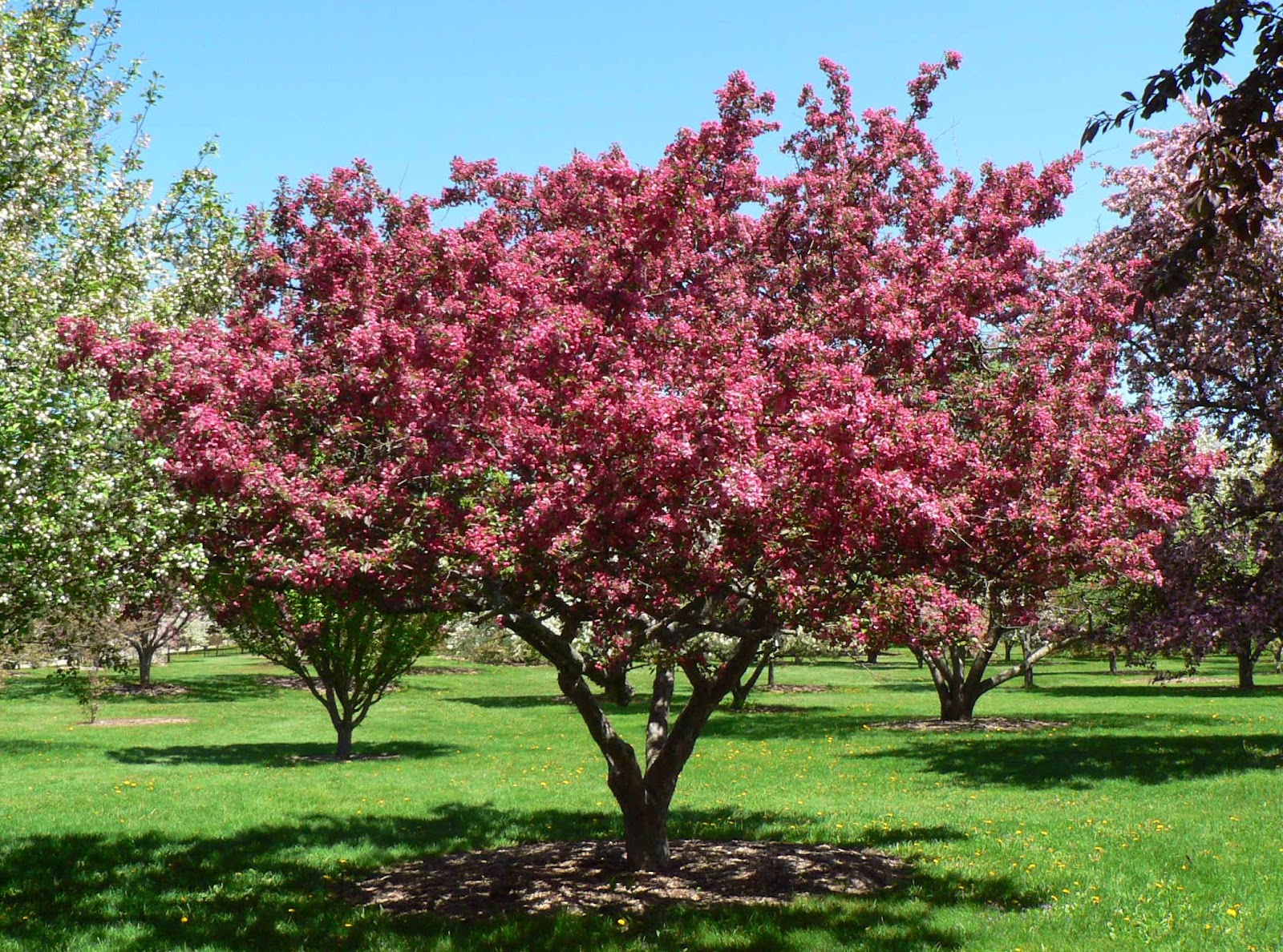 Visit my garden flowering crabapples at the arboretum for Crabapple tree