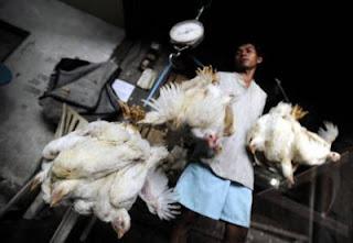Menimbang ayam, untuk mengetahui perkembangan bobot ayam