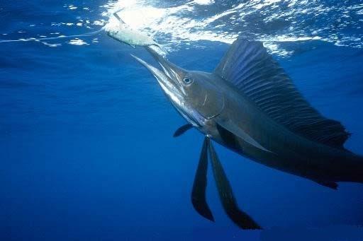Artes de pesca vamos a pescar pez vela for Curiosidades del pez espada