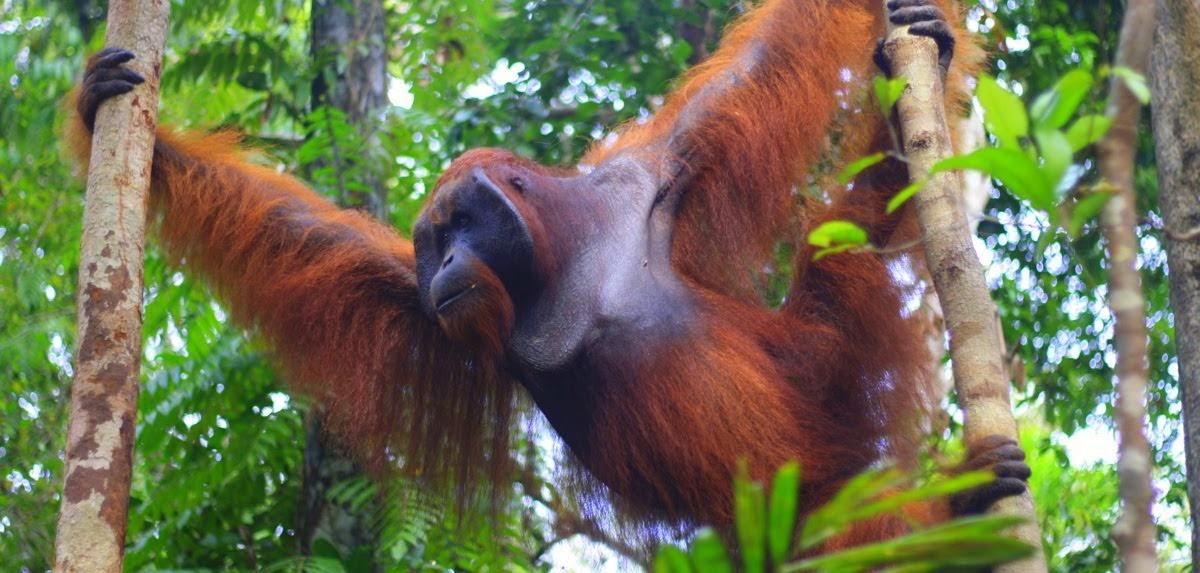 Orangutan Tanjung Puting Trip