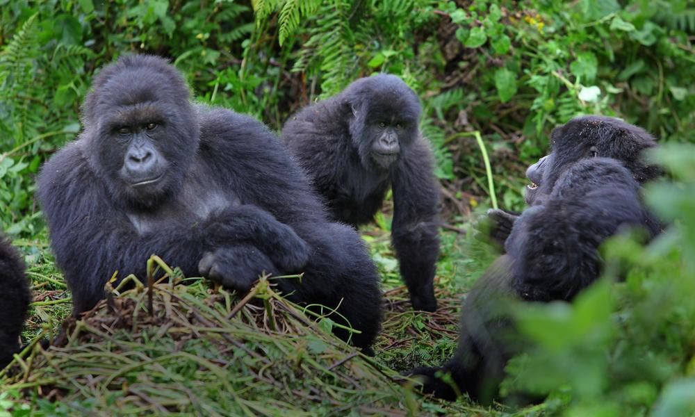 7 Days Gorilla Trekking Safari Adventure And Wildlife