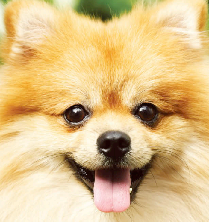 Types of pomeranians pomeranians come in different colors they can be