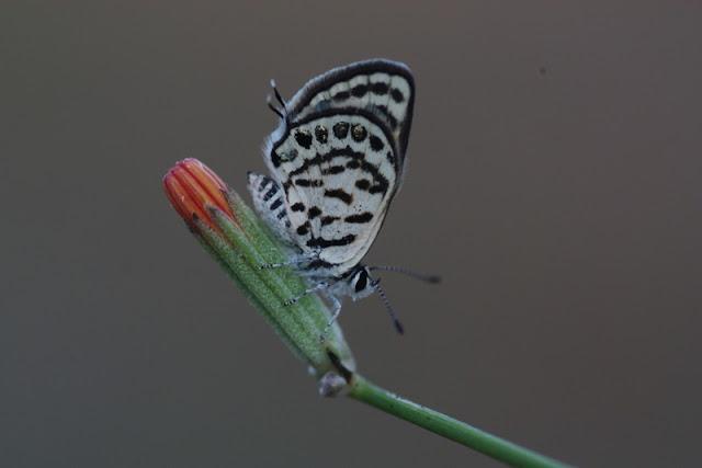 balkan kaplanı kelebeği