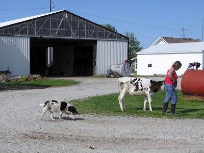 dairy cow farm