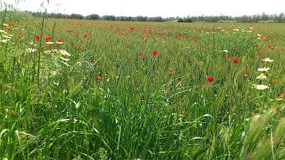 Campos de cereales y amapolas