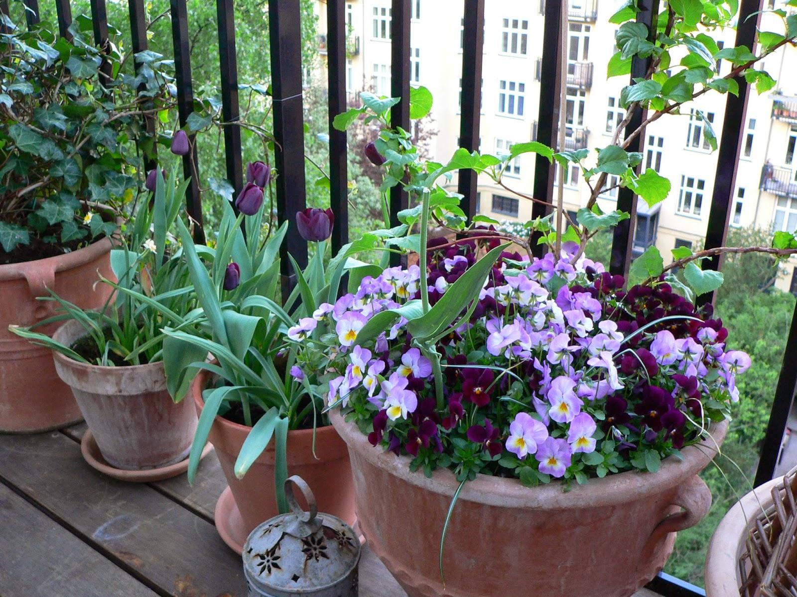 Klatrehortensia og tulipaner
