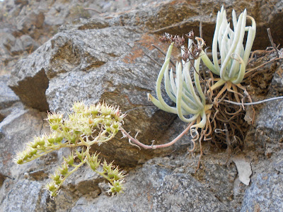 Dudleya densiflora