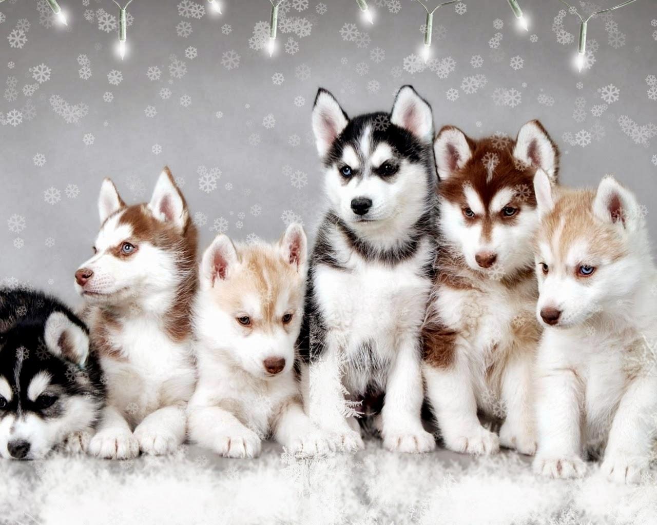 اسعار الكلاب 2018 لجميع الأنواع husky-snow-dogs-free-from-zet_69383665.jpg