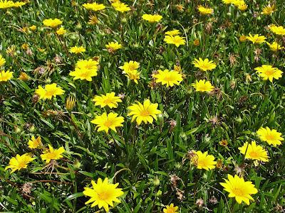 Flores de Arnica