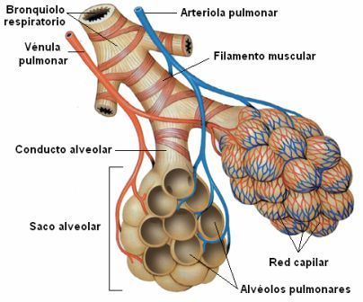 Embriologia sistema respiratorio - Share and Discover