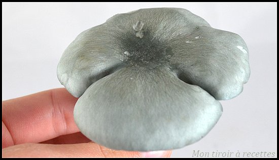 clitocybe anis