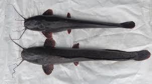 ikan lele jenis mutiara