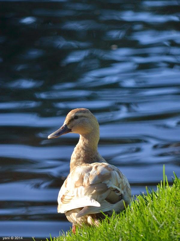 duck bank