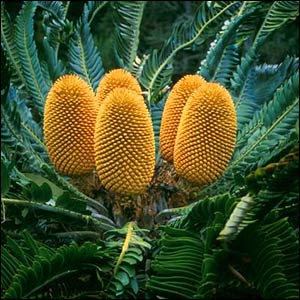 cyca de los bosques Encephalartos woodii