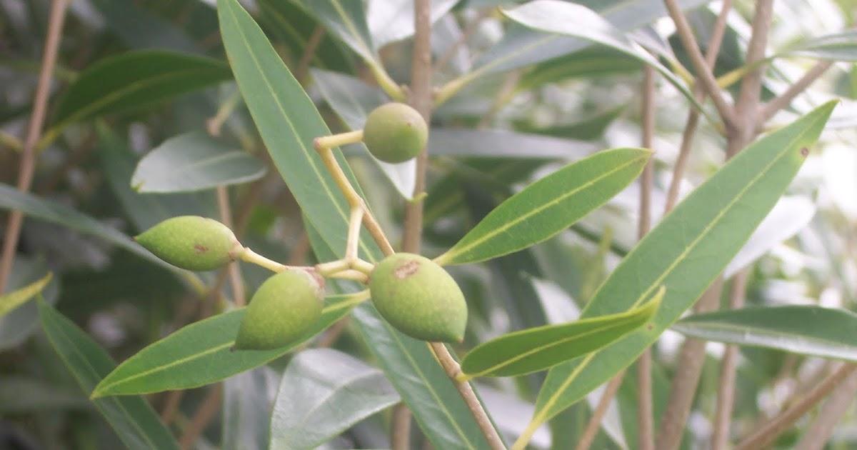 Bois d 39 olive blanc flore de l le de la r union for Entretien jardin reunion