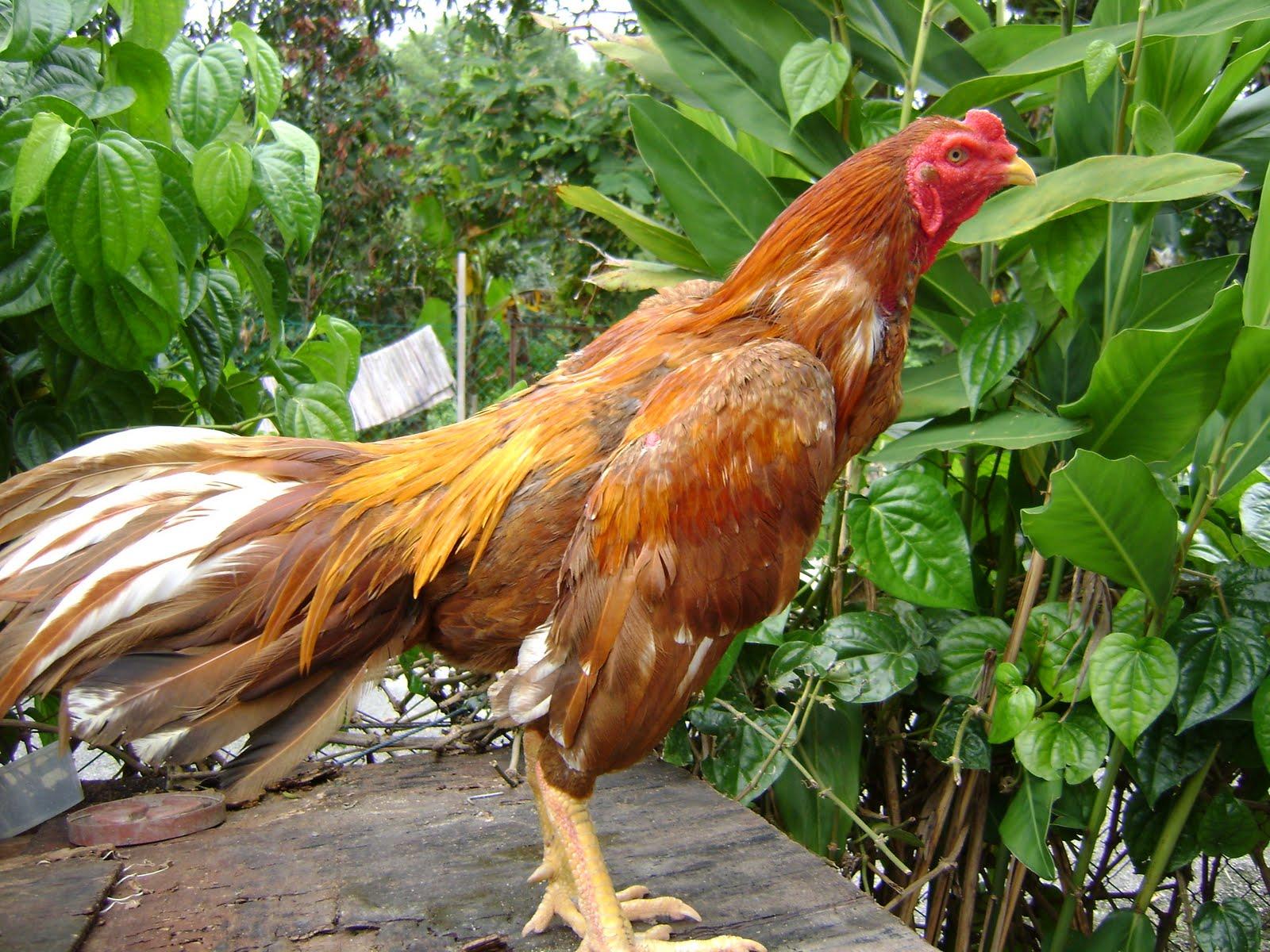 AYAM BENGKOK: Gambar-Gambar Ayam Sabung