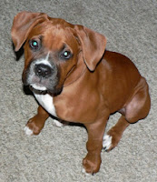 boxer puppy dog training
