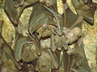 Hanging Bats Goa Lawah