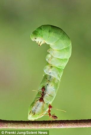 نملة ترفع يرقة 5