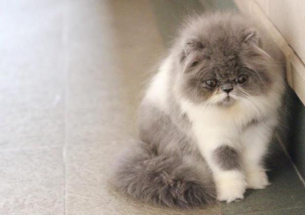 Gambar Kucing Persia sendirian