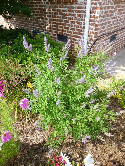 Vitex agnus-castus, Chaste Tree, Monk's Pepper