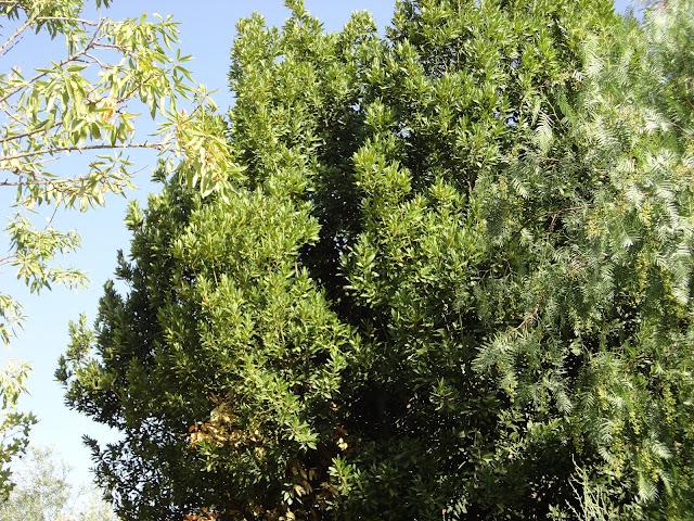 LAUREL (Laurus nobilis). Imagen de un laurel en el jardín.