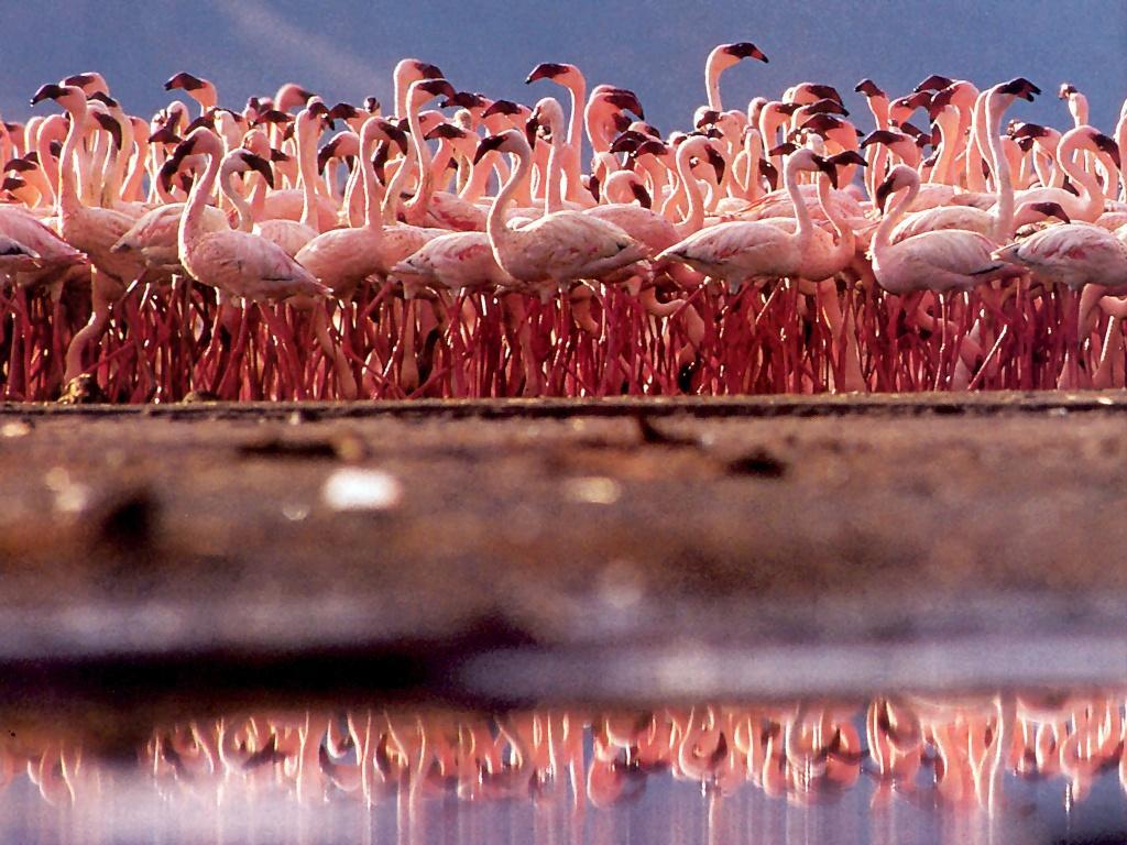 animals zoo park flamingo wallpapers pink birds wallpapers