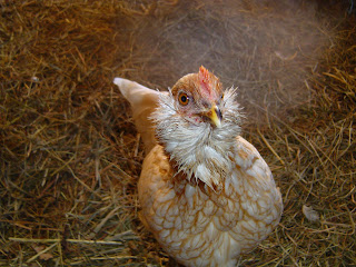 Mixed Breed Chickens - Poultry