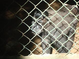 black monkey in Zoobic Safari