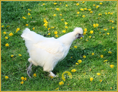Silkie hen. The Chicken Chick®
