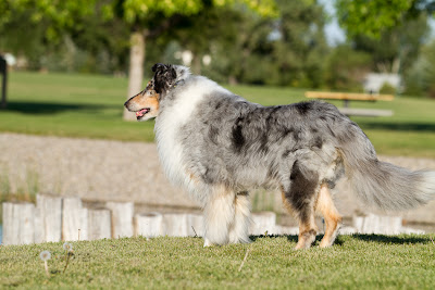 Woody >Woody {Rough Collie}