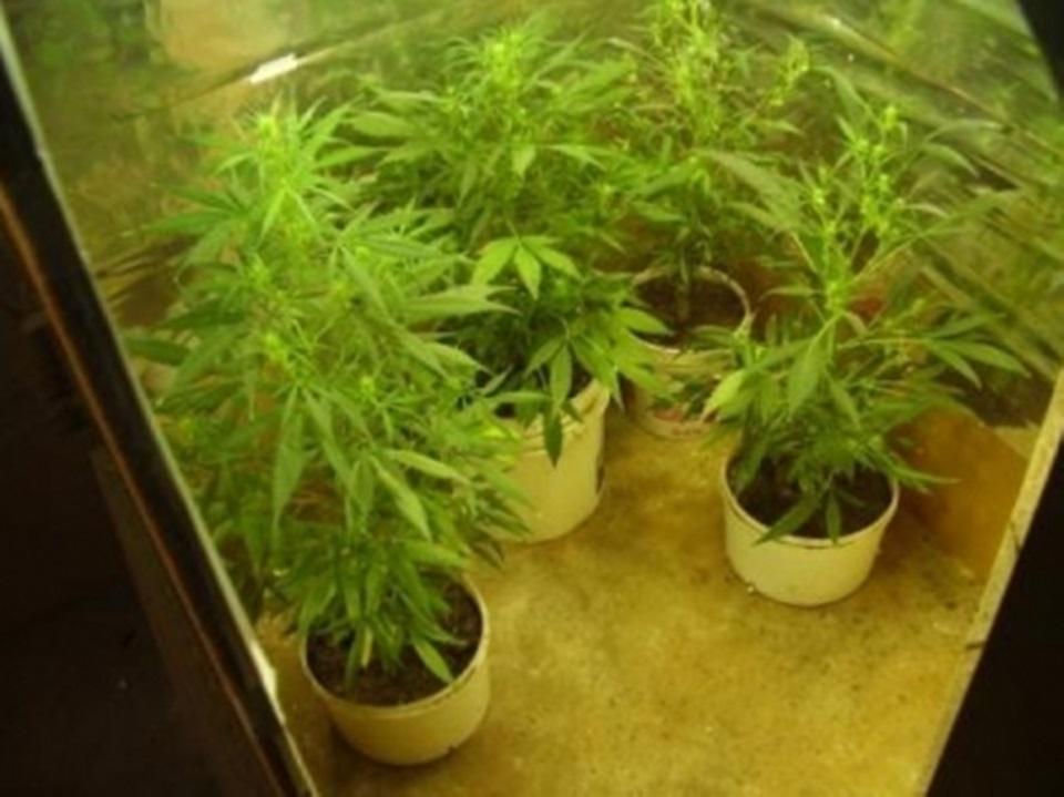 Allanamiento decomisan 14 plantas de marihuana
