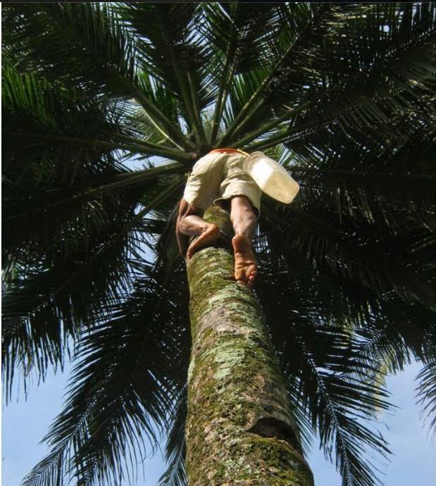 Pohon Kelapa Terbesar se Dunia, Buah Kelapa terbanyak se Indonesia