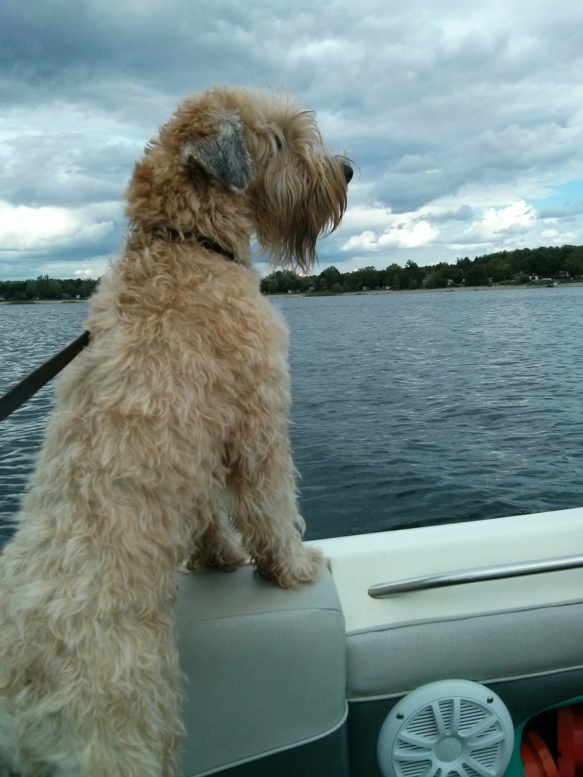 Witthaven Wheatens Canadian Kennel Club Regd