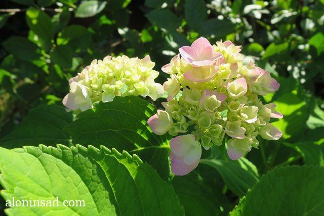гортензия, крупнолистная, макрофила, садовая, Hydrangea macrophylla, гидрангия, аленин сад