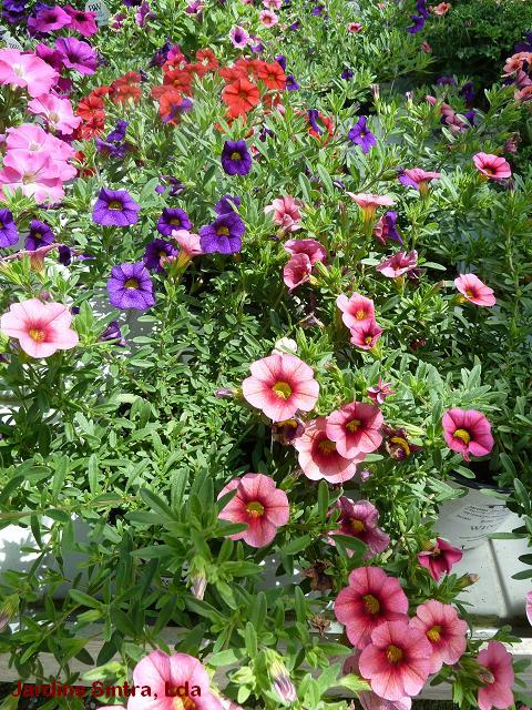 jardins plantas rasteirasJardins Sintra Calibrachoa