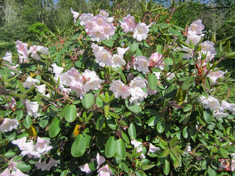 "Rhododendron ""Kimberly"" (R. williamsianum x R.fortunei)"