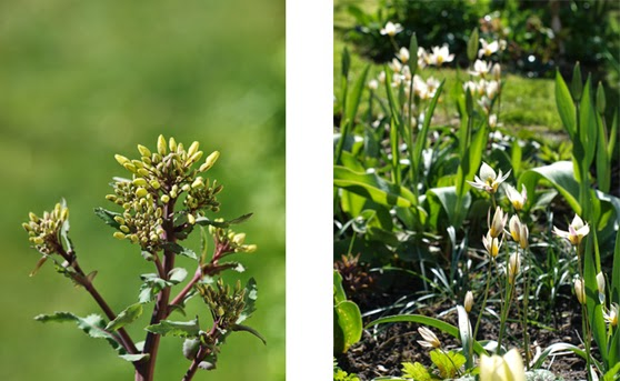 Grønkål og botaniske tulipaner i haven