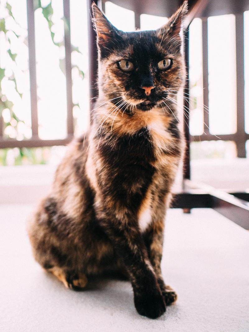 Tortoiseshell Cat Cyprus Zening