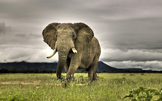 African Elephant Walking Savanna National Park South Africa